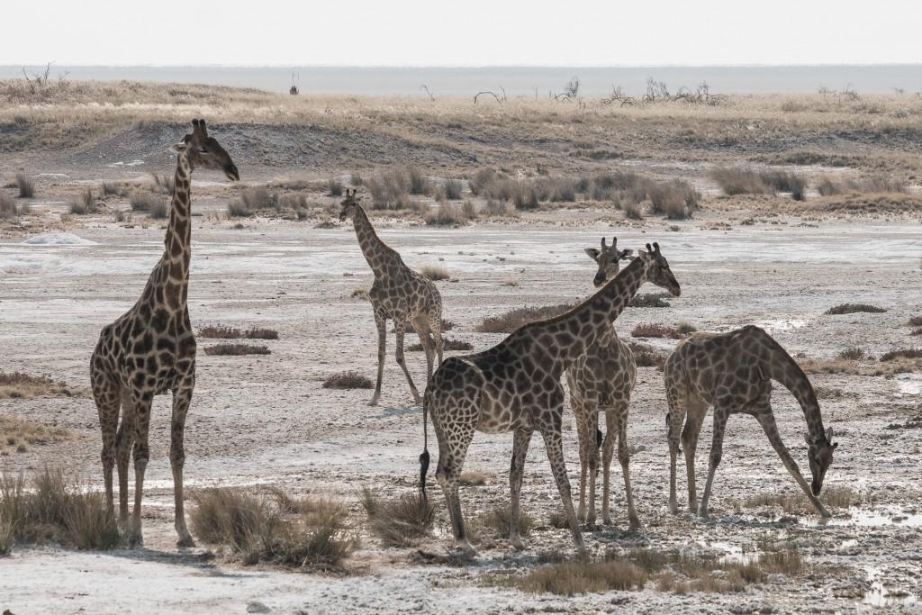 namibia girafe