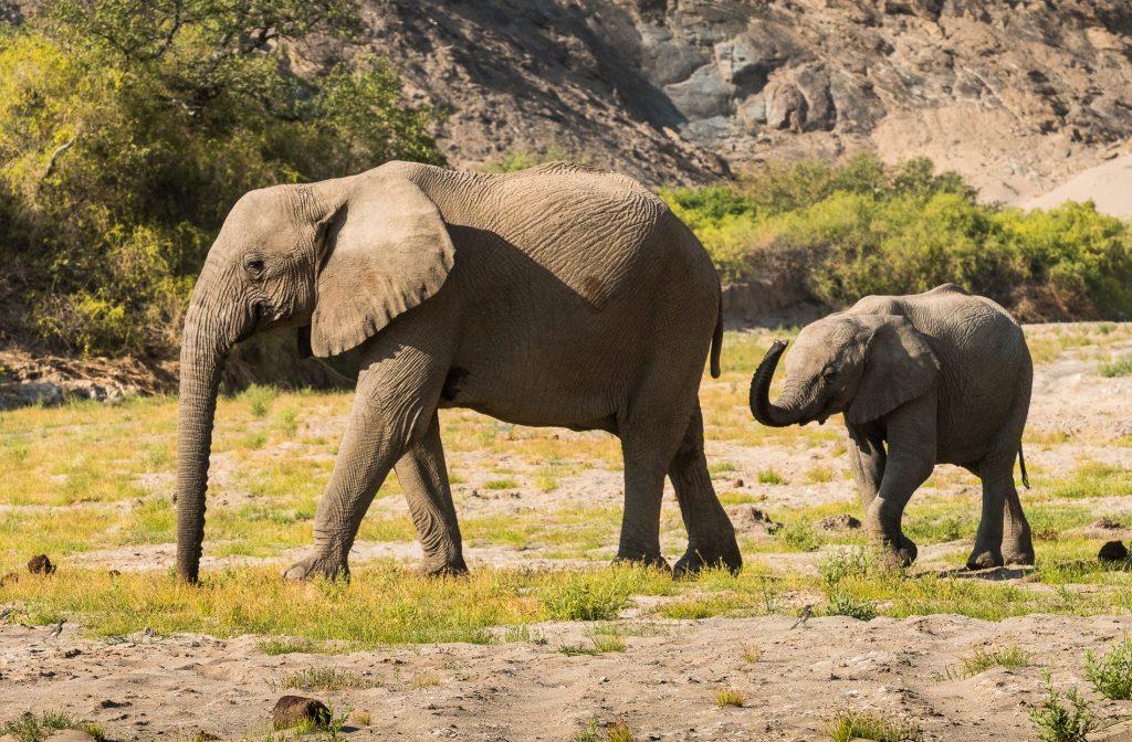 namibia elefanti