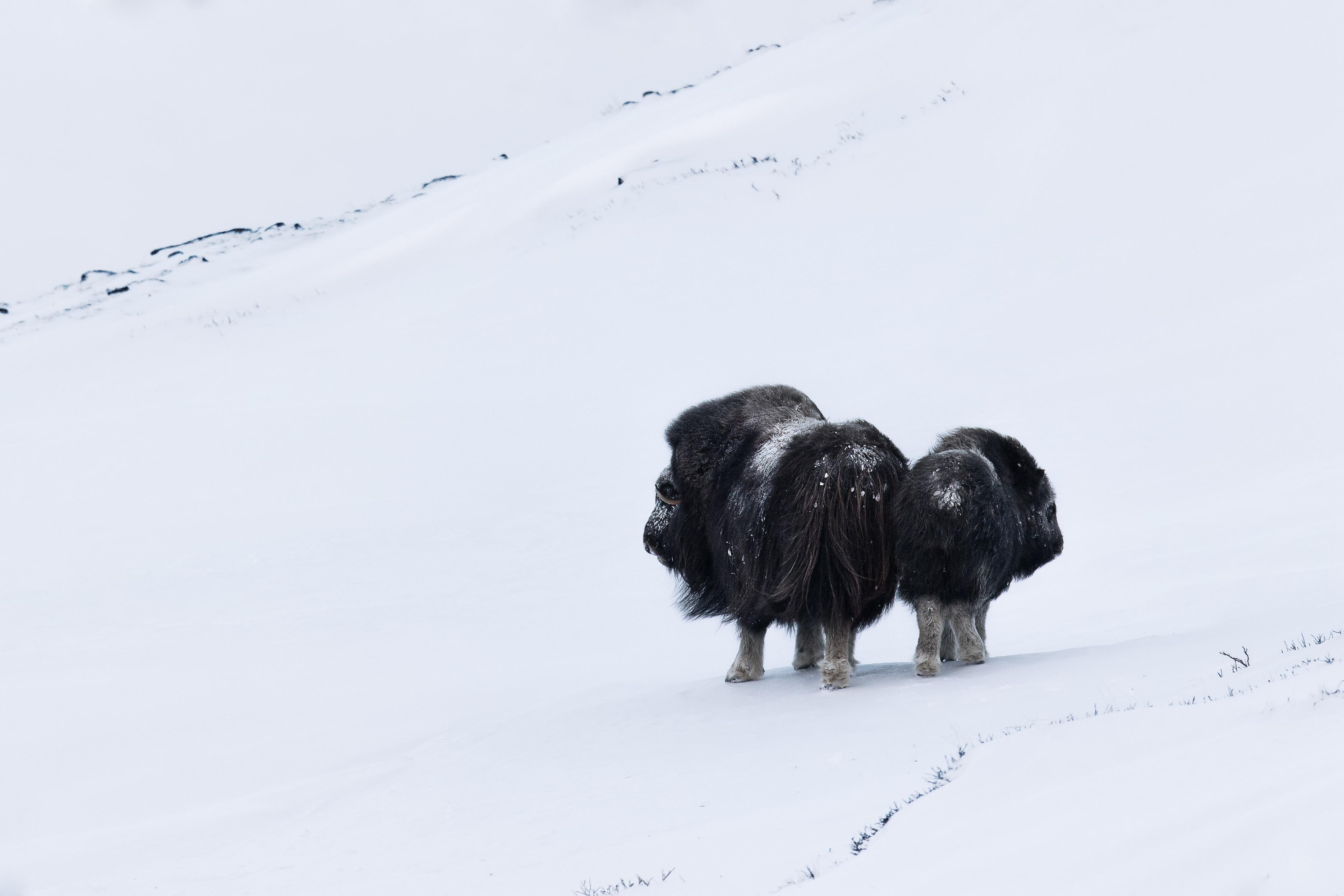 Boi moscati in Norvegia iarna