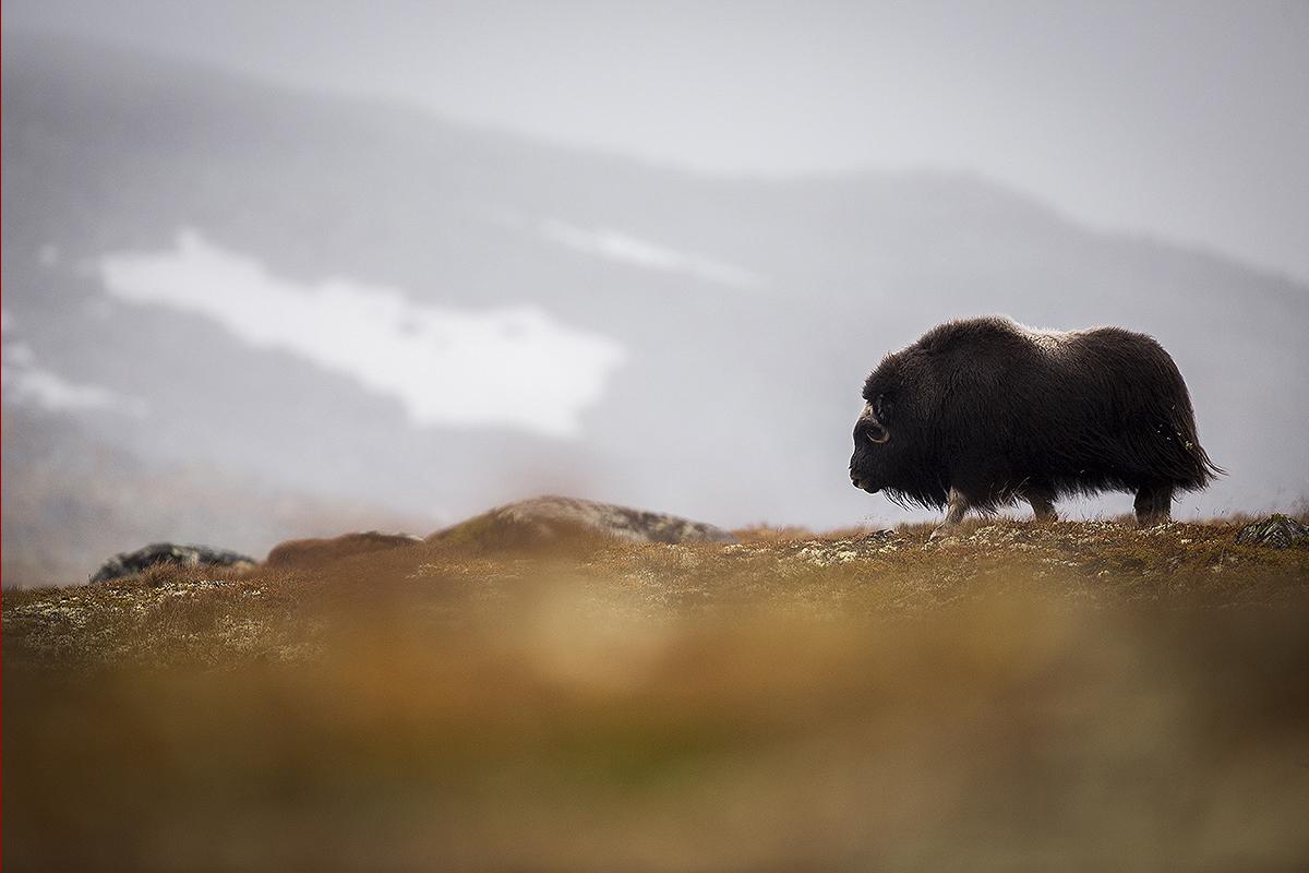 Fotografie wildlife Norvegia boii moscati