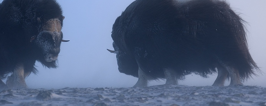 Fotografierea boilor moscati - 11 zile in salbaticia nordului